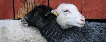 Schafe schwarz und weiß